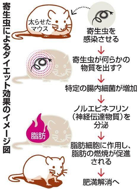 【研究】寄生虫がダイエットを手助け=マウス、1カ月で体重2割減