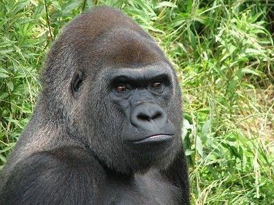 ダイエット女子の食事と上野動物園のゴリラの食事を比較した結果www