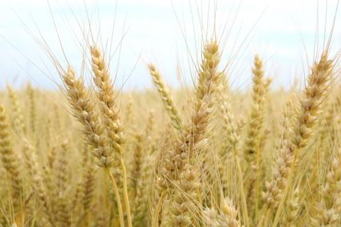 【健康】皮膚の小麦アレルギー、なりやすさの遺伝子発見!!