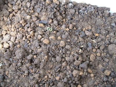 ジャガイモの出芽