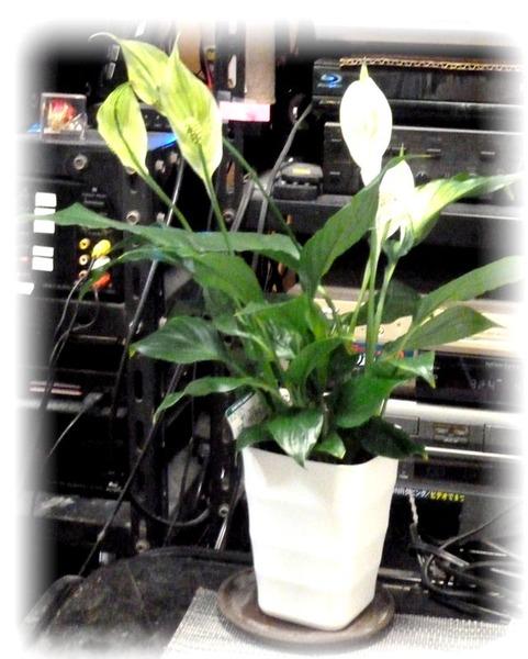 スパティフラム(Spathiphyllum)20n10g6bn
