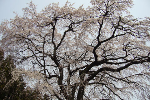 内出の桜4