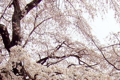 内出の桜1