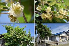 180512-キウイの花