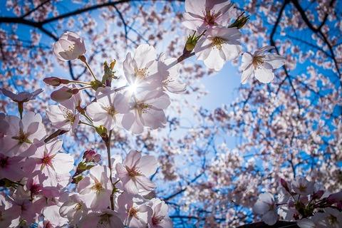 cherry-blossoms-1716763_960_720