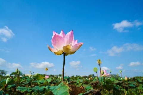 lotus-3047881_960_720