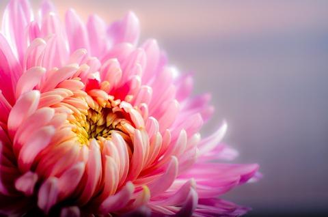 chrysanthemum-202483_960_720