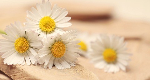 daisy-2313971_960_720