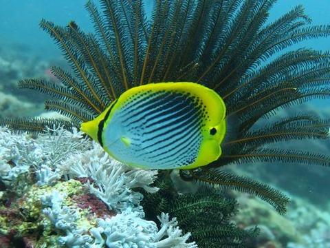 SpotTailButterflyfish