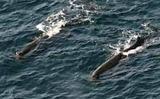 クジラ:伊豆大島沖に三つ群れ