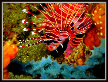 Adrian Lion Fish 2 sm-m800
