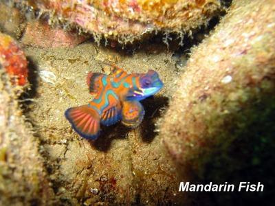 Adrian mandarinfish
