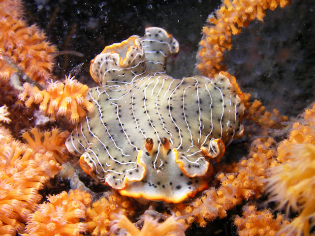 ホソジマオトメ