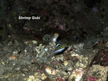 Adrian Shrimp Gobi-m800