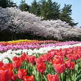 photo_tulip02