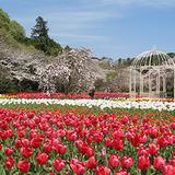 photo_tulip01
