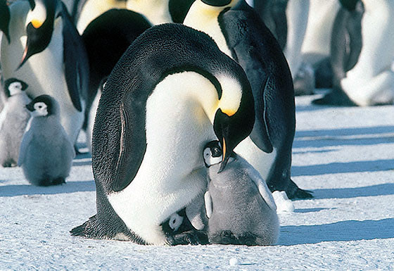 ペンギンの画像 p1_19