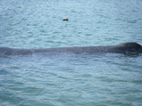 クジラのキズ