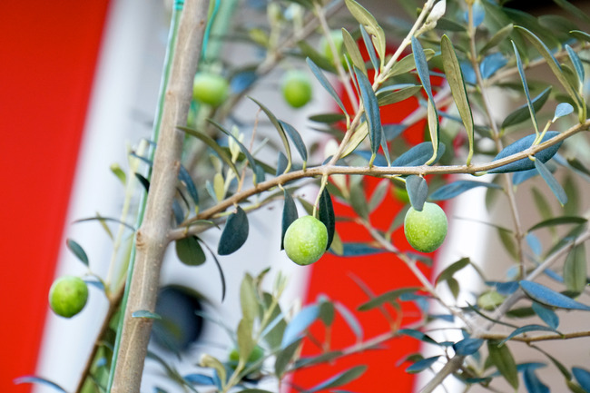 気になるオリーブの木、とか