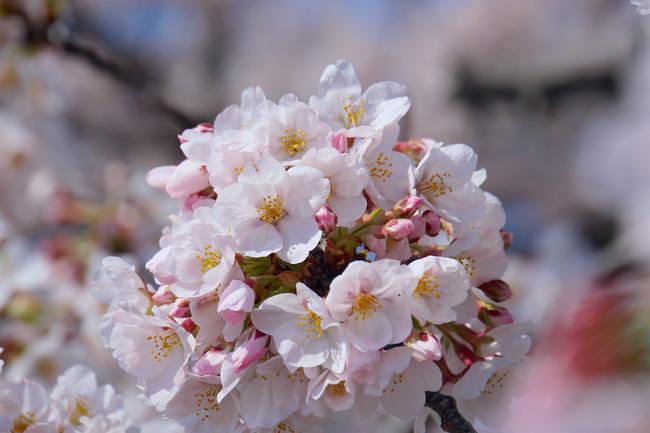 それでも桜は咲く、とか