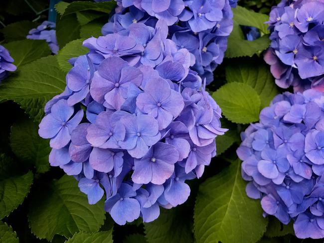 なかやすみの紫陽花とか
