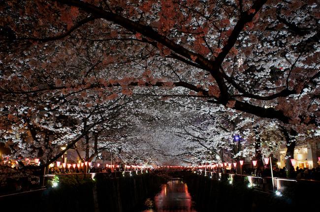 目黒川の桜と羊一とか