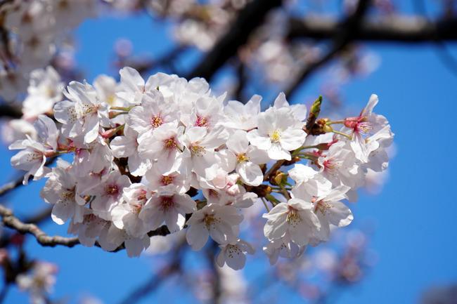 桜のソワソワ感とか