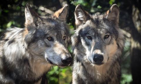 wolf-2984865_1920