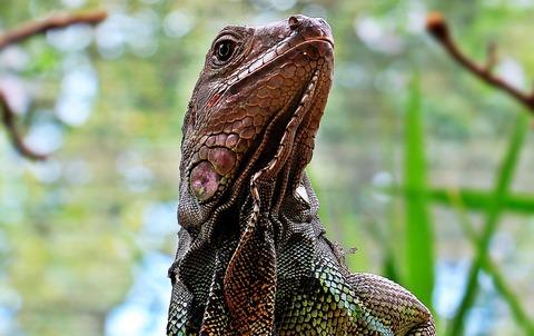 iguana-1654210_1920