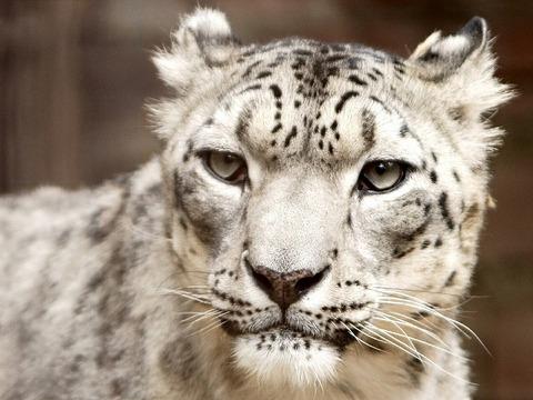 snow-leopard-620560_1280
