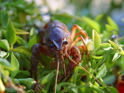 crawfish-3182_640