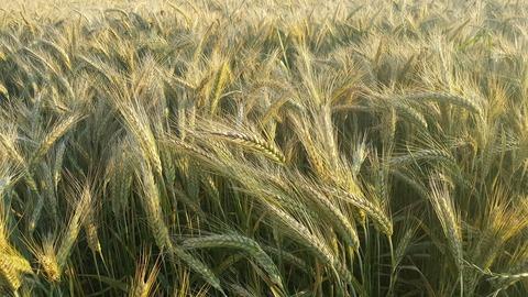 corn-2652801_1920