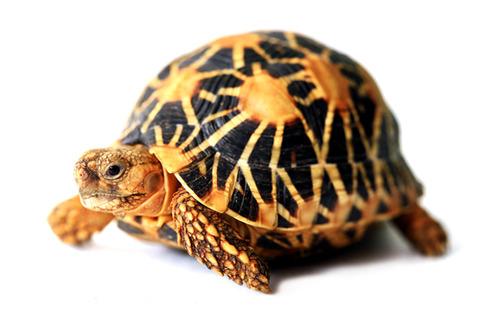 indian-tortoise