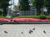 前橋駅南口のツツジ