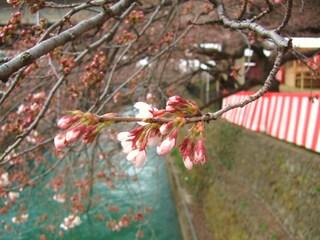 幸の池・桜�