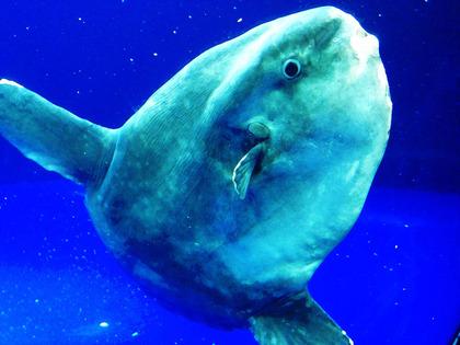 ocean-sunfish-mola-mola