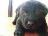 子犬ラブラドール画像1月20日 001