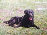 子犬ラブラドール画像1月20日 005
