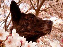 桜と甲斐犬