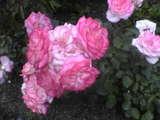 妖艶な色、バラ
