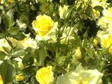 黄色の君 今咲かんとす大輪に