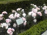 バラの花 芸者