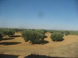 007オリーブ畑