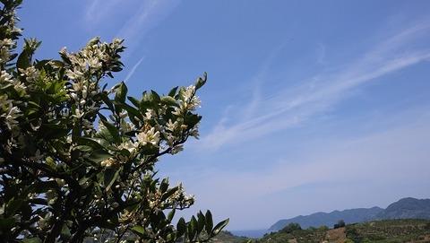 蜜柑の花02