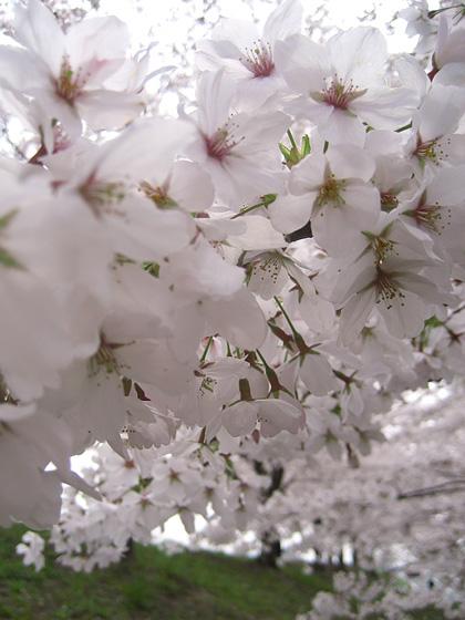 04_1367桜の波420.jpg