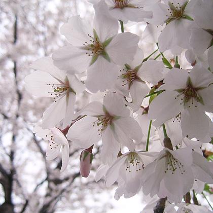 04_1369桜の花束420.jpg