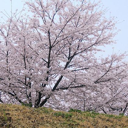 04_1387土手桜空art420.jpg