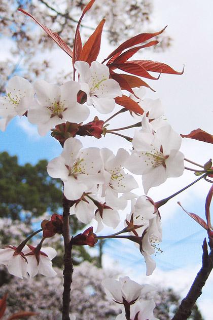 04_1538くっきり山桜420.jpg