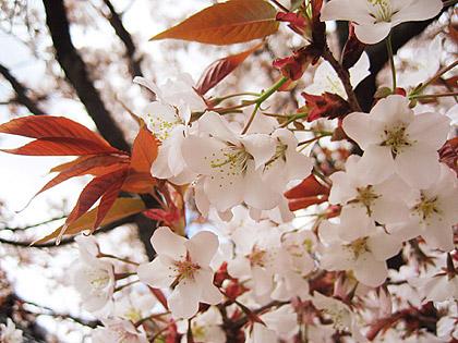 04_1541花ほの赤く420.jpg