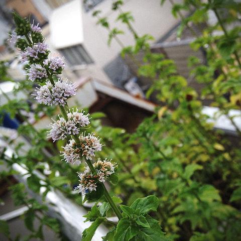 花咲かめがねさん